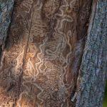 Signature Ash Borer Trails
